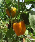 bell peppers grown at peace farms Uganda